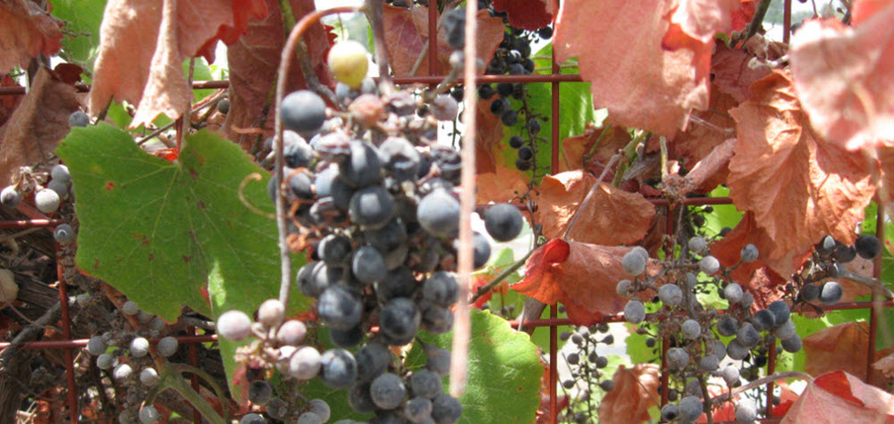 grapes-at-lashbrook