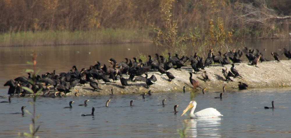 Peck Water Conservation Park Water Fowl - 2014